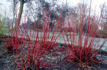 Cornus Alba Sibirica Image credit: The Royal Horticultural Society